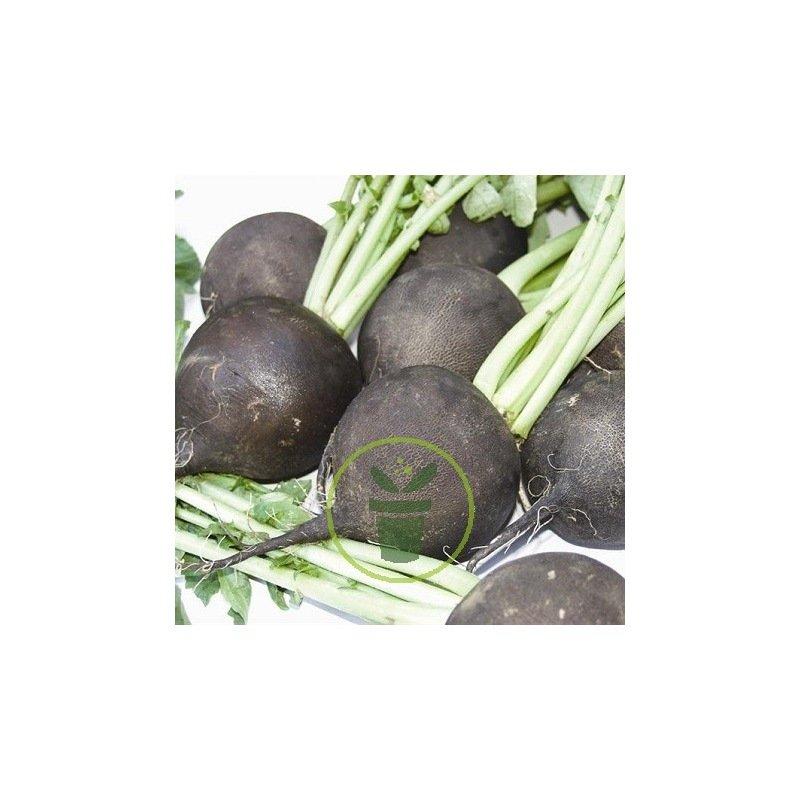 radis noir rond d 39 hiver 4 grammes chez graines. Black Bedroom Furniture Sets. Home Design Ideas