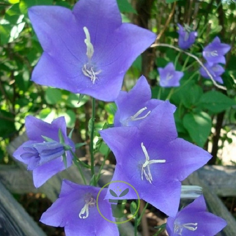 Campanule feuilles de p cher bleu 250 graines 1 22 - Campanule a feuilles de pecher ...