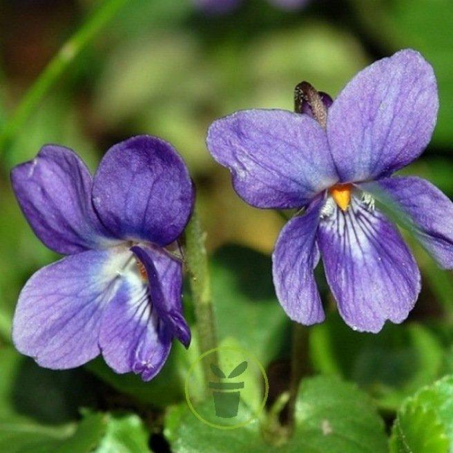 Violette odorante des 4 saisons - Viola odorata