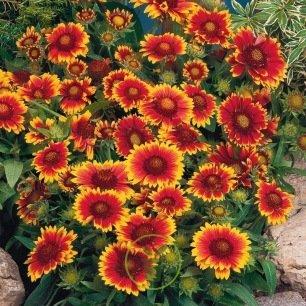Gaillarde à grande fleur variée 100 graines