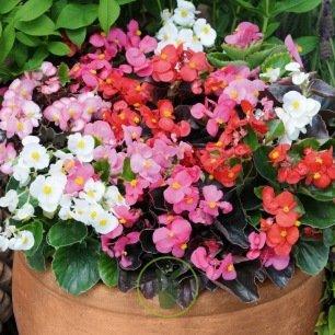 Bégonia semperflorens - 4 couleurs au choix