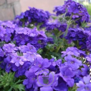 Verveine speciosa Purple 200 graines