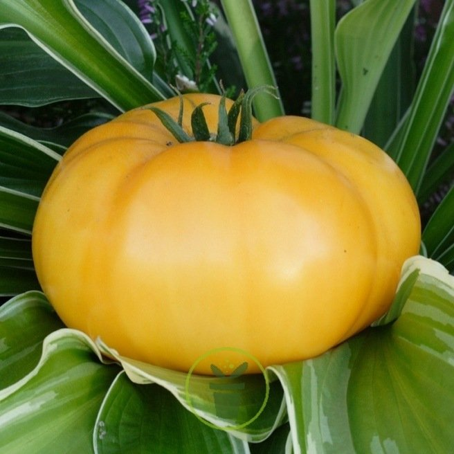 Tomate Brandywine jaune  80 graines
