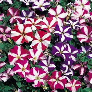 Pétunia nain Star mixed 600 graines
