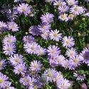 Brachycome iberidifolia Blue Splendour 2000 graines