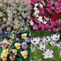Mélange de fleurs Tom Pouce (tapissant)