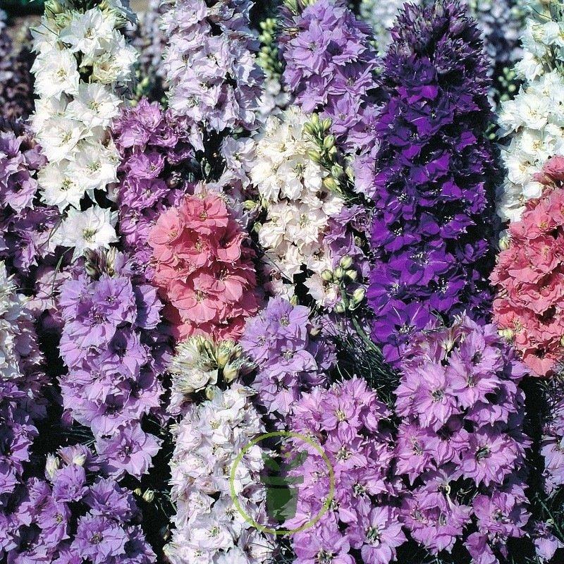 200//1200 Graines Pied alouette Dauphinelle Bleu DELPHINIUM Imperial Vivace Fleur