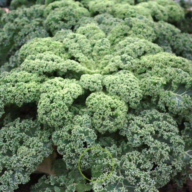 Graines de chou fris vert ou pourpre un v ritable atout - Comment cuisiner un choux vert ...