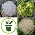Chou-fleur 300 graines - 3 variétés au choix