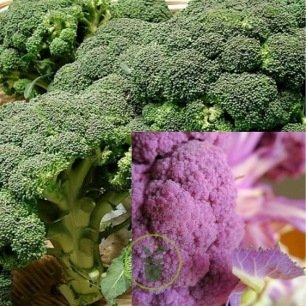 Chou brocoli Calabrais - Summer Purple