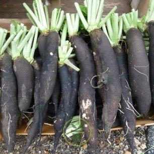 Radis d'hiver noirs ou blancs 4 grammes