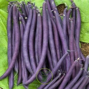 Haricot nain mangetout Purple Queen