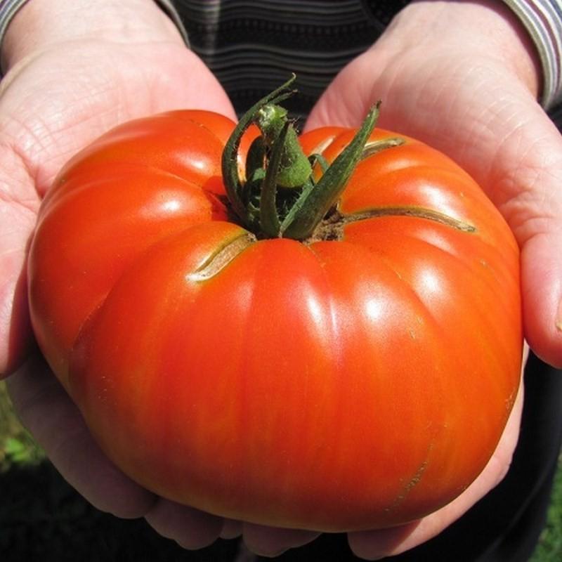 Graines de tomates beefsteak et white beefsteak sachet - Arrosage basilic en pot ...