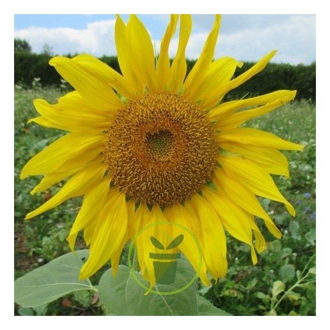 Tournesol géant simple - soleil