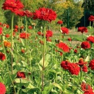 Mélange de fleurs Rouge Ardent