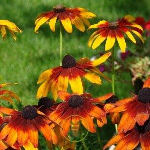 Rudbeckia pourpre et Gloriosa Daisy
