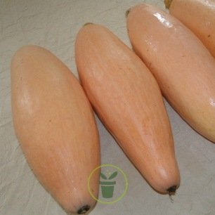 Courge Jumbo Pink Banana 8 graines
