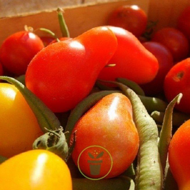 Tomate Pear