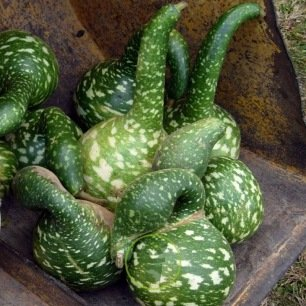 Courge Speckled Swan