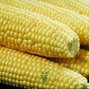 Maïs 50 graines