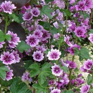 Mauve sylvestre - Malva sylvestris 200 graines