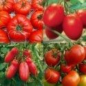 Tomates classiques et incontournables 60 graines