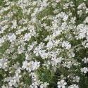 Cerastium biebersteinii - Céraiste 400 graines
