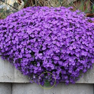 Aubrietia cascade à grande fleur variée 300 graines
