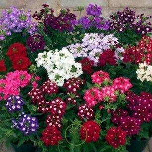 Verveine hybride Ideal Florist variée  200 graines