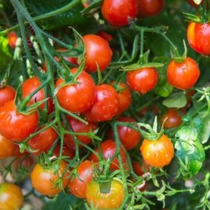 Tomate cerise rouge 80 graines