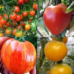Tomates pack de 5 variétes