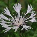 Centaurée cyanus - bleuet 600 graines
