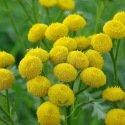 Tanaisie (Tanacetum vulgare) 500 graines