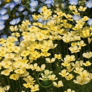 Eschscholtzia caepitosa Light Yellow