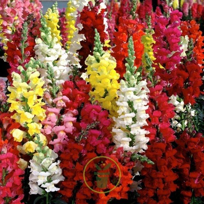 Muflier à grande fleur varié