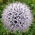 Echinops ritro White Globe 100 graines