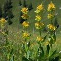 Gentiane lutea - Gentiane jaune 200 graines