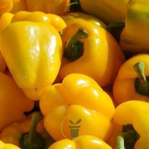 Poivron Yellow California Wonder