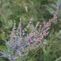 Armoise - Artemisia vulgaris 1000 graines