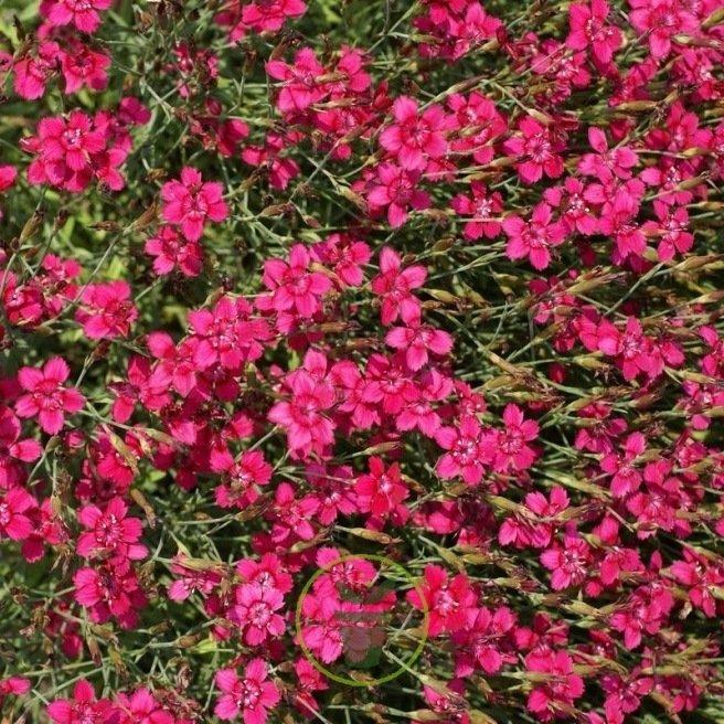 Œillet deltoïde rouge (Dianthus)