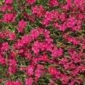 Oeillet deltoïdes rouge 500 graines