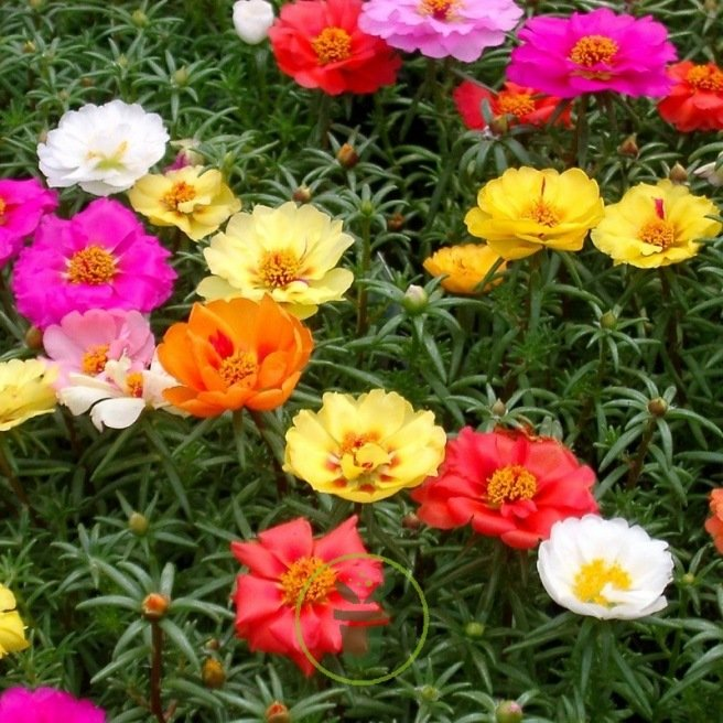 Pourpier A Grandes Fleurs Varie Portulaca Grandiflora 1000 Graines