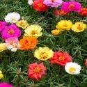Pourpier à grandes fleurs varié 1000 graines
