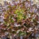 Laitue à couper Salad Bowl - 2 variétés