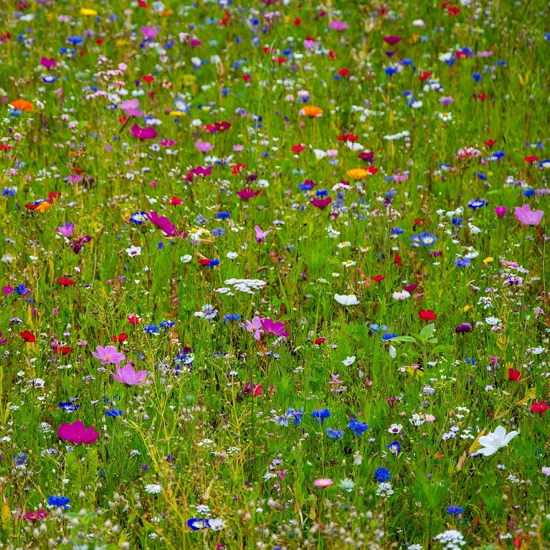 Semez des graines de fleurs sauvages en mélange | Graines biologiques