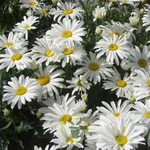 Chrysanthème vivace