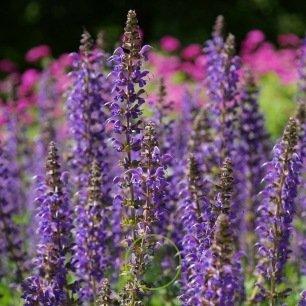 Salvia farinacea , sauge bleue 200 graines