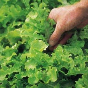 Laitue à couper Salad Bow verte BIO
