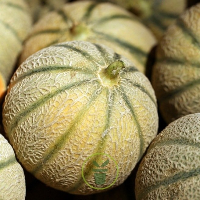 Melon sucré Canteloup Charantais BIO