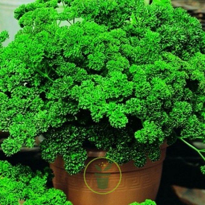 Persil frisé vert foncé BIO
